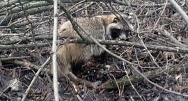 Jenot z Lasku na Kole został przewieziony do Ośrodka Rehabilitacji Dzikich Zwierząt